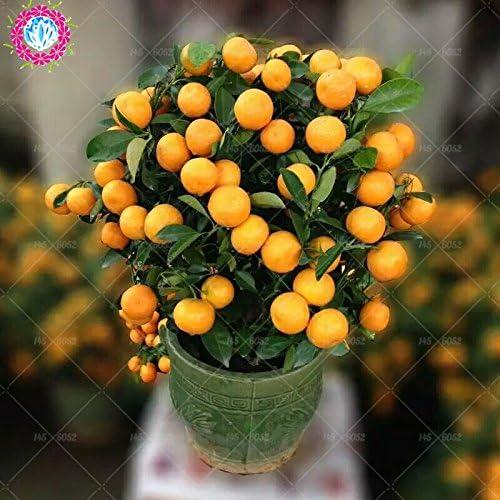 40pcs Arbres fruitiers Graines Plantées Dwarf Graines bio Douce Kumquat orange fruits en pot Graines Mandarine jardin d'agrumes graines Bonsai