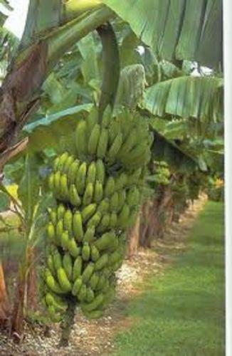 musa-gran-nain-chiquita-brand-live-banana-plant-fruit-tree
