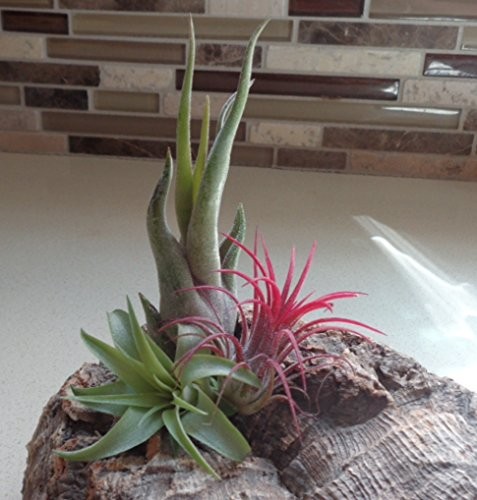 CTSairplants 3 Pack Assorted Tillandsia-Easy Care - Care Plants Easy