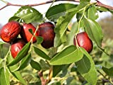 New ASIAN DATE Jujube Ziziphus Spinosa Common Chinese Tsao Red Fruit Tree 20+ Seeds