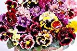 Viola Rococo Frilled Mix Seeds Frizzle Sizzle Pansy up to 20 Seeds