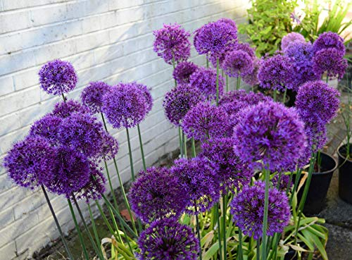 Allium Purple Sensation 30 Fresh Seeds Ready to Dispatch Free p&p