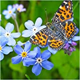 Package of 1,000 Seeds, Blue Forget-Me-Not (Myosotis sylvatica) Non-GMO Seeds by Seed Needs