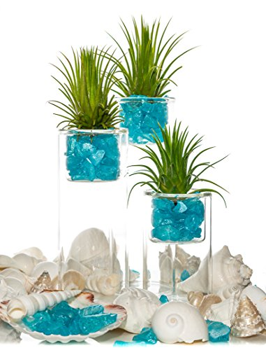 Tillandsia Air Plant with Glass Stand | Glass Votive Holder | Aqua Blue Pearlized Sea Chips | Air Plant Set for Display | Nautic (4, 6, 7 Inch Trio with 1 Lb White Shells) ()