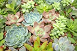 Succulent Plants (5 Pack), Fully Rooted in Planter