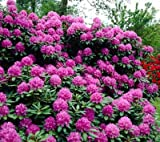 Lavender Rhododendron Shrubs - Huge Purple Blooms The First Year! - 1 Gallon