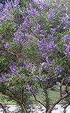 "2 Trees....Chaste Tree, LIVE PLANT, Vitex Agnus Casus, Lilac, Potted Tree, 10""+"
