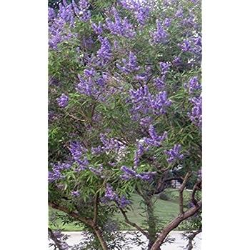 Amazon Com Texas Lilac Chaste Tree Vitex Agnus Castus 2