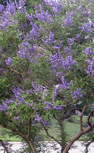 Chaste Tree, Live Plant, Vitex Agnus Casus, Lilac, Chasteberry,Potted Tree, 8