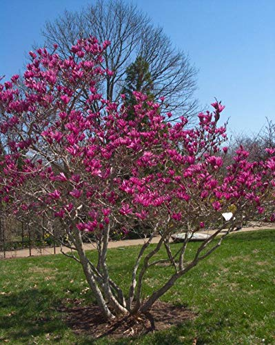 1 Plant Ann Magnolia Tree Live Plant Healthy Established Rooted in 1 Gallon Tree Flowering Planting