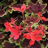 Pelargonium 'Vancouver Centennial' Geranium