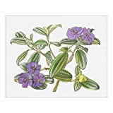 10x8 Print of Illustration of Tibouchina urvilleana (Glory bush), purple flowers and green (13545087)