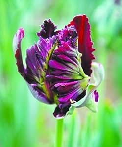 200PC Dutch Cabbage Tulip Seeds. Aroma Tulip Plant(it is not tulip bulbs-bulbs transport perishable)Advanced Bonsai Flower Seeds