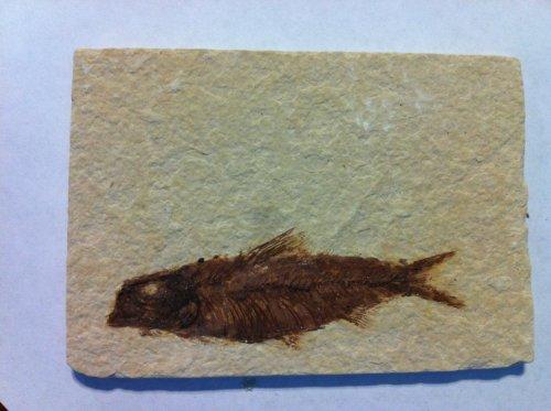 Knightia Alta Fossil Fish in - Knightia Fish