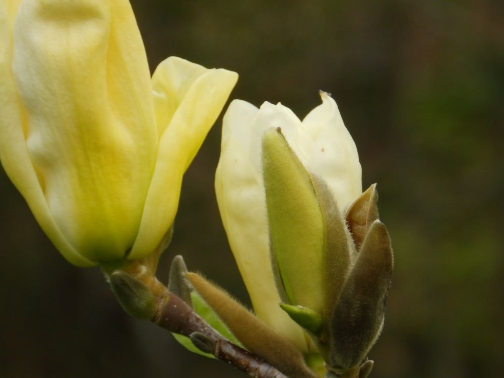 Gelbe Pracht-Magnolie / Yulan-Magnolie `Yellow River´ Größe 15-L-Topf, 125-150 cm Pflanzenhöhe