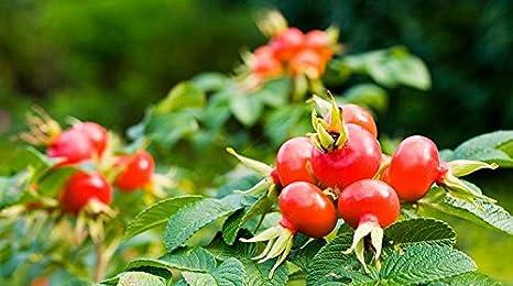 Polvo de Rosa Mosqueta - 100g - (Calidad garantizada)