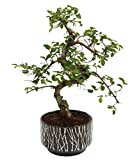 Bonsai Tree. Chinese Elm 25-35cm in black ceramic pot
