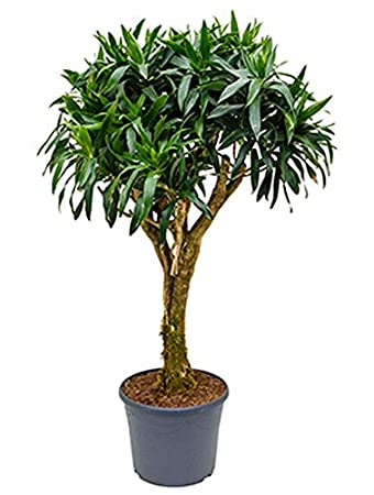 Drachenbaum 110-140 cm im 35 cm Topf große Zimmerpflanze wenig Licht ...