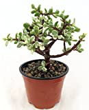 "Creme & Green Mini Jade Plant - Portulacaria afra - 4"" Pot"