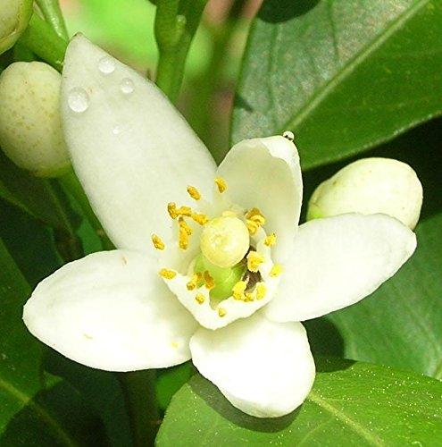 Earth Philosophy Ginger & Neroli - Fresh & Floral Botanical Skin Toner - 2oz