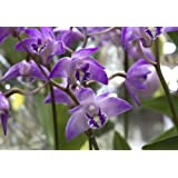 Orchid Insanity Dendrobium kingianum (seedling) fast-growing easiest orchid ever