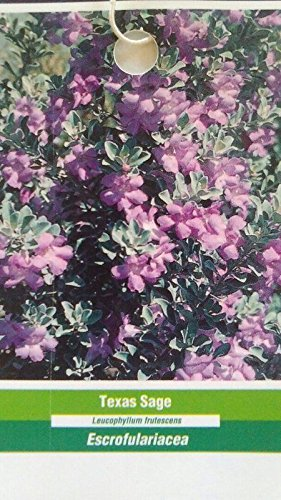 1 gal. TEXAS SAGE Shrub Live Flowering Purple Home Landscape Plants Garden Bush by tans_treasures