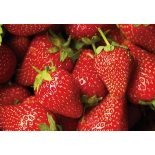 New Chandler Junebearer Strawberry Plants - 10 root divisions for cheap