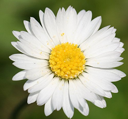 - MySeeds.Co 1,500 GERMAN CHAMOMILE Seed - FLOWER HERB SEEDS - CAMOMILE TEA - HEAVENLY APPLE SCENT - Sweet Smelling & Aromatic Daisy Like Flowers - 60-65 Days To Harvest