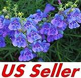 Go Garden 50 Pcs Penstemon Heterophyllus Seeds G36, Blue Spring Flowers Perennial