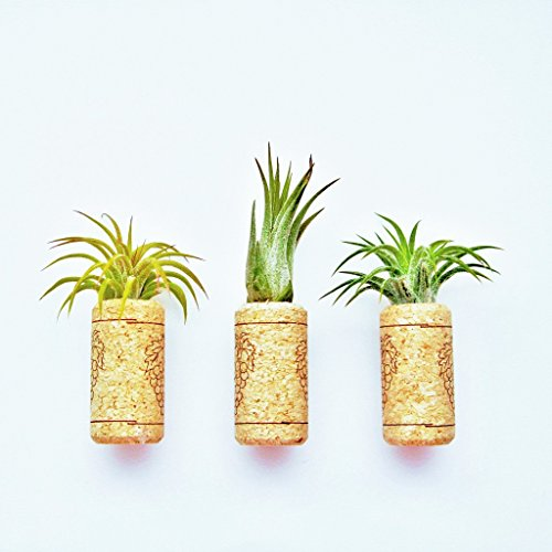 12 Pack Handmade Wine Cork Magnets with Ionantha Air Plants - 30 Day Guarantee - Wholesale - Bulk - Fast Shipping - House Plants - Succulents - Free Air Plant Care Ebook By Jody James