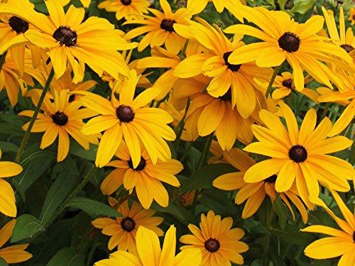 Black Eyed Susan Seeds - Rudbeckia Hirta - Attracts Butterflies 10,000 (Shasta Daisy Germination)