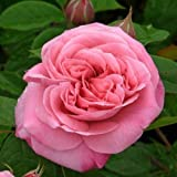 Special Occasion Rose 'BFF - Best Friends Forever' in a 3.5 litre Pot