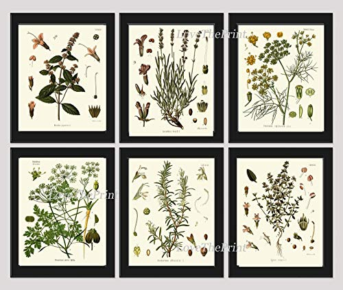 Herbs and Spices Botanical Set of 6 Prints Antique Beautiful Peppermint Lavender Fennel Parsley Rosemary Thyme Home Room Decor Wall Art Unframed ()