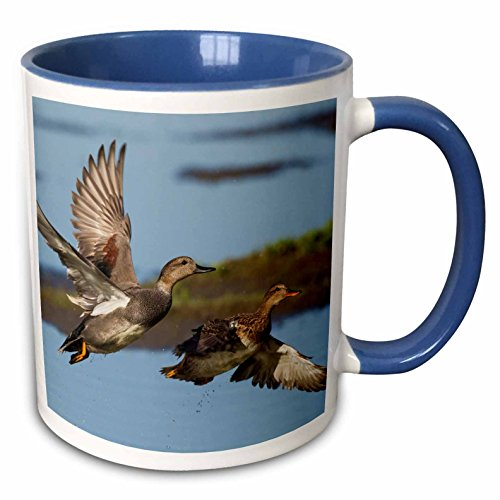 3dRose Danita Delimont - Ducks - Gadwall Ducks Taking Flight - 15oz Two-Tone Blue Mug (mug_228433_11)