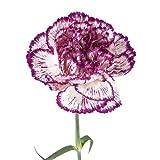 Wholesale Carnations (150 Bicolor Purple)
