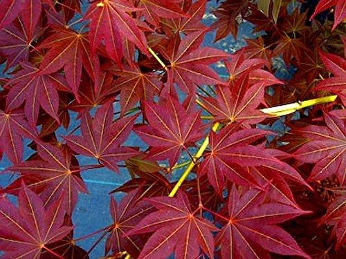 Beni Hoshi Dwarf Japanese Maple 1 Year Live Plant