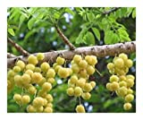 Phyllanthus acidus - Otaheite Gooseberry - Star Gooseberry - 5 Seeds