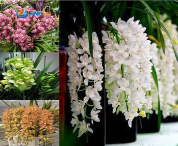 Hot Sale!!! Potted Flowers Orchid Seeds, Cymbidium Seeds, Cicada Orchid, Cymbidium When -