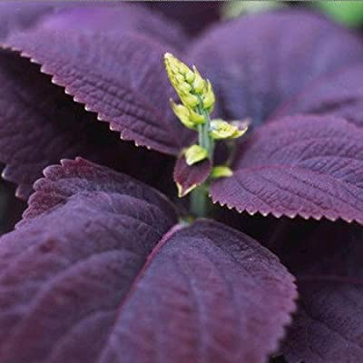 SD1589 Rare Purple Italian Mint Fresh Garden Herb Seeds, Rare Purple Basil Herb Plant Seeds, New Live Seeds (20 Seeds)