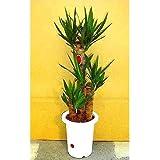 プランツネット 観葉植物 ユッカ(青年の樹) 7号 K0100232