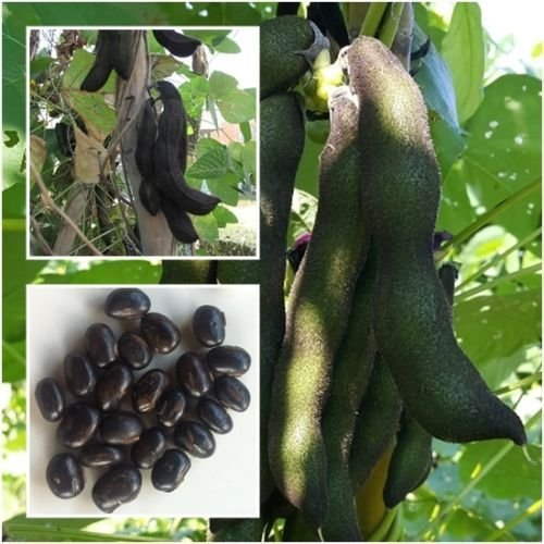 New!!!! Seeds Mucuna pruriens 10 Seeds,Velvet bean,Unique Rare From Thailand+