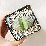 Pleiospilos Nelii Split Rock Succulent | Green