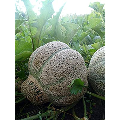 HeirloomSupplySuccess 5 Heirloom Jenny Lind Muskmelon Seeds: Everything Else