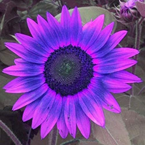 20pcs Selten Sonnenblumen samen Mischung Garten,Bauernhof Helianthus Hohe Riesen Blumen f/ür Zaun Xianjia Garten Wolkenkratzer -Bienen-Paradies Riesen Sonnenblume