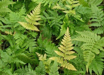 Autumn Fern Brilliance Qty 36 Live Plants Groundcover Dryopteris Erythrosora