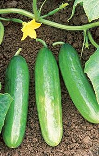 (Cucumber Bush Pickle Vegetable Seeds)