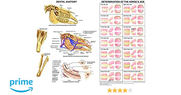 Equine Dental Anatomy Chart Horse: Pet Dental Care Supplies: Amazon ...
