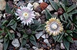 Seeds Nananthus Vittatus Rare Living Stone Cacti Mesembs Rock Plant Ice Seed Get 50 Seeds Ex 01
