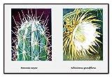 Stetsonia Coryne 20x30 poster
