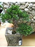 18''Hx9''Wx11''L Cedar Bonsai Tree in Meshed Tin Wood Pot Green (pack of 1)